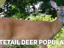 Whitetail Deer Population featured