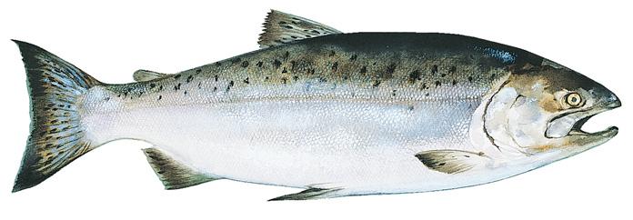 King Alaska Salmon